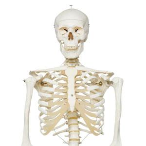 Скелет человека A10
