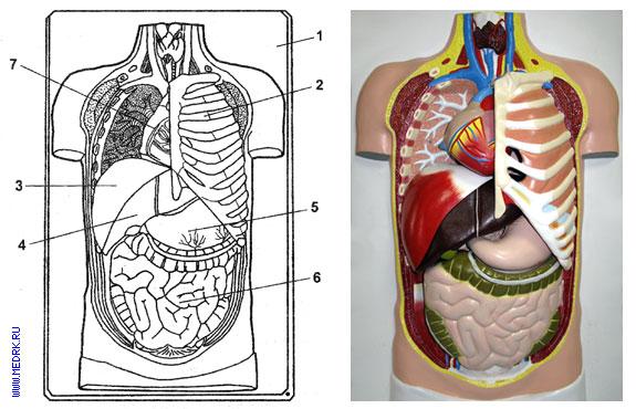 Схематическое изображение разборной модели торса человека Н7