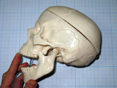 Увеличить фото модели человеческого черепа