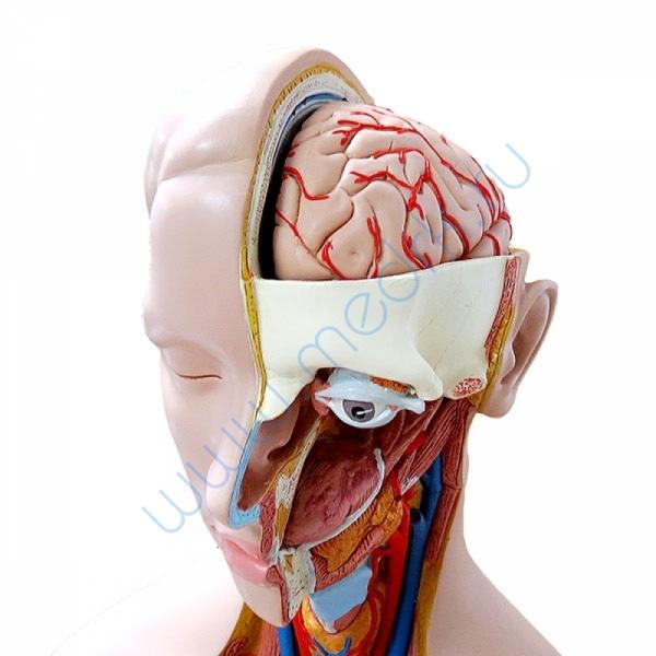 Модель торса человека B13 бесполая, 14 частей   Вид 1