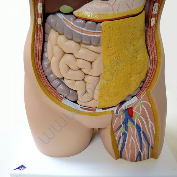Модель торса человека B13 бесполая, 14 частей   Вид 4