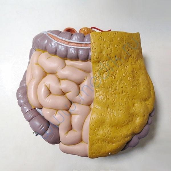 Модель торса человека B13 бесполая, 14 частей   Вид 9