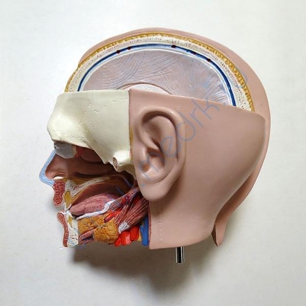 Модель торса человека B13 бесполая, 14 частей   Вид 12