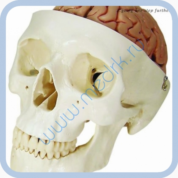 Модель черепа человека с мозгом A20/9