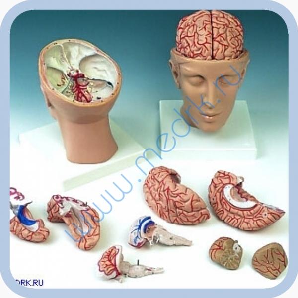 Модель головы с мозгом C25  Вид 1