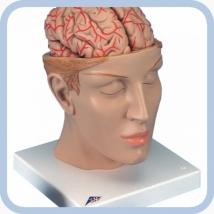 Модель головы с мозгом C25