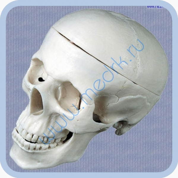 Модель человеческого черепа P-4