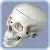 Модель черепа человека P-4 пластиковая
