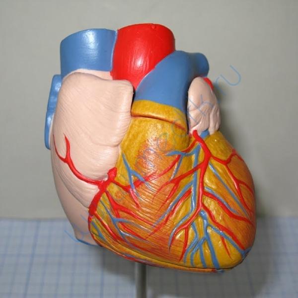 Модель человеческого сердца G10  Вид 1