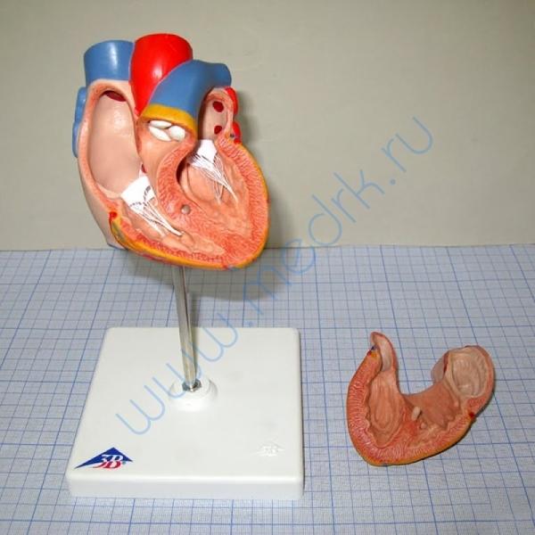 Модель человеческого сердца G10  Вид 2