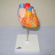 Модель человеческого сердца G10