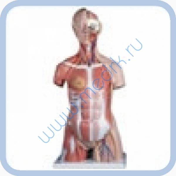 Модель торса человека с мышцами B40  Вид 1