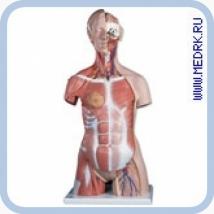 Модель торса человека с мышцами B40