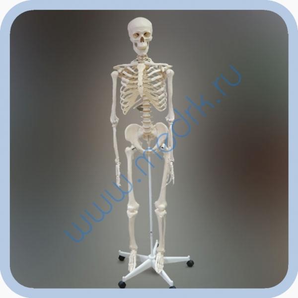 Макет скелета человека 170 см на роликовой подставке