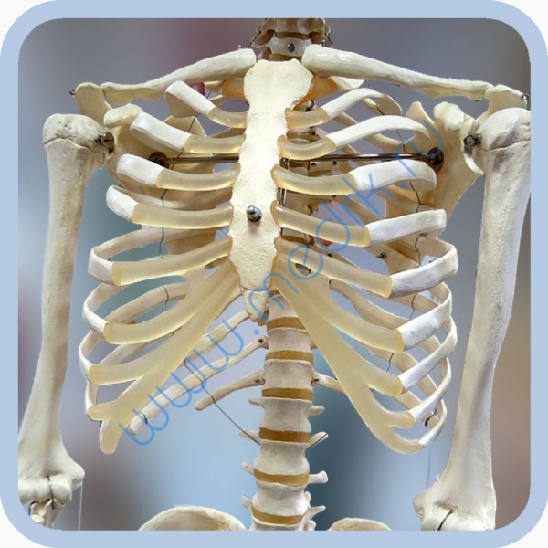 Макет скелета человека 170 см на роликовой подставке  Вид 1