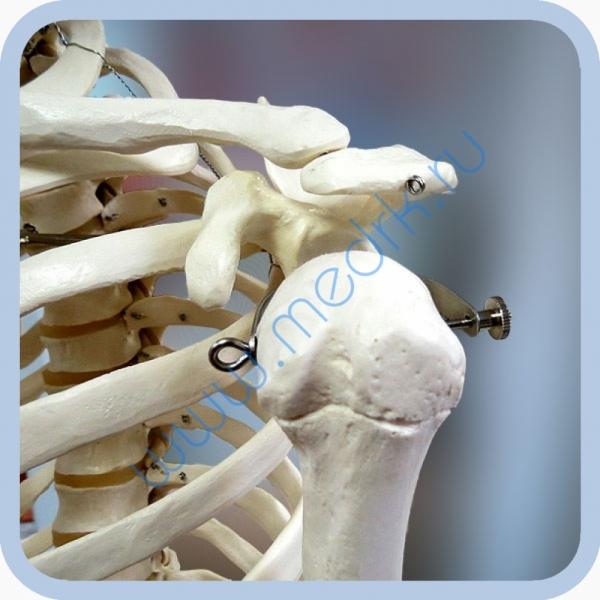Макет скелета человека 170 см на роликовой подставке  Вид 2