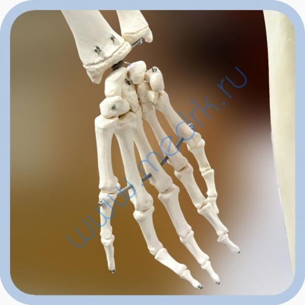 Макет скелета человека 170 см на роликовой подставке  Вид 3