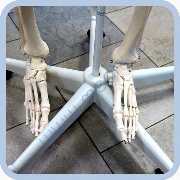 Макет скелета человека 170 см на роликовой подставке  Вид 5