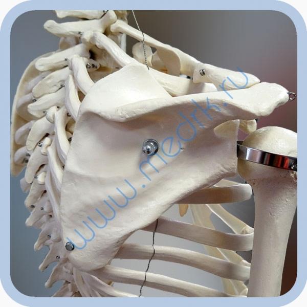 Макет скелета человека 170 см на роликовой подставке  Вид 7