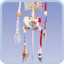 Скелет человека A13