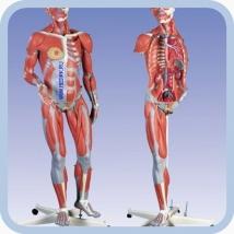 Модель тела человека
