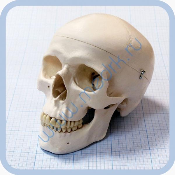 Макет черепа A20  Вид 1