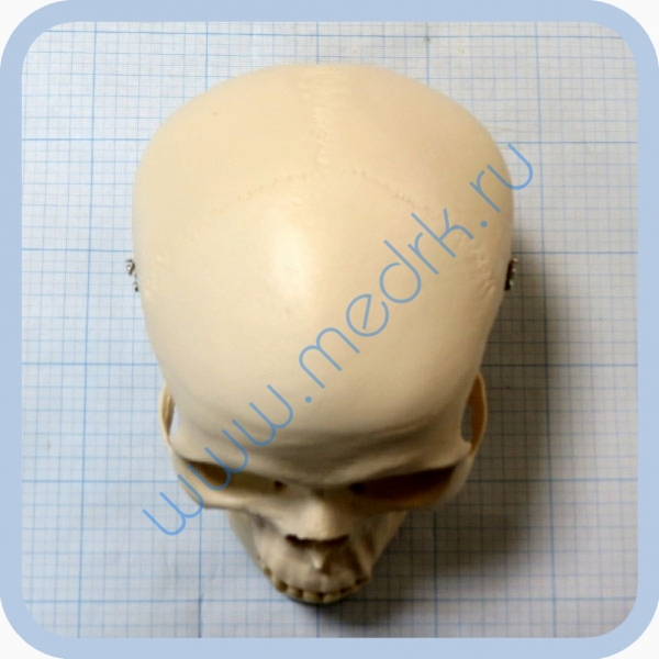 Макет черепа A20  Вид 2