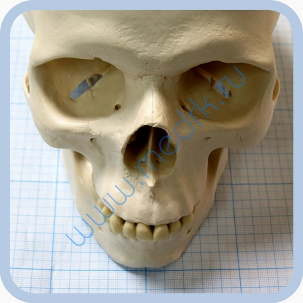 Макет черепа A20  Вид 3