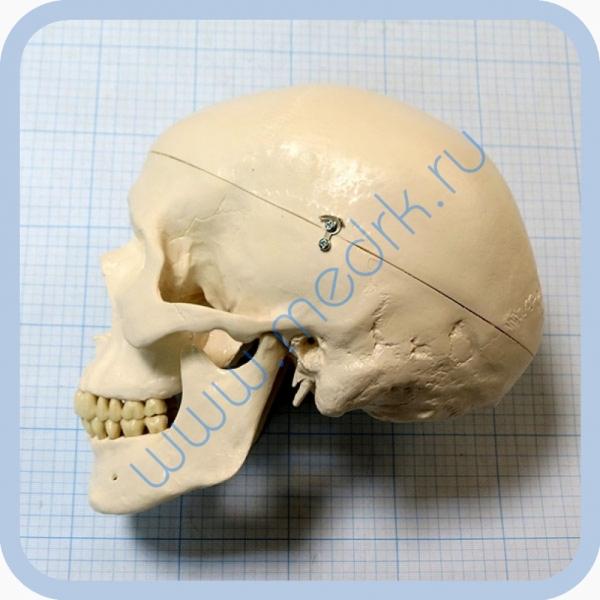 Макет черепа A20  Вид 4