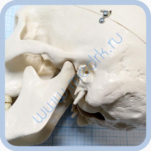 Макет черепа A20  Вид 7