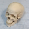 Макет черепа A20