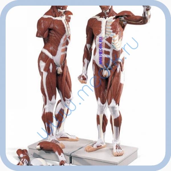 Модель человека анатомическая VA01  Вид 1