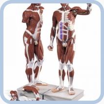 Модель человека анатомическая VA01
