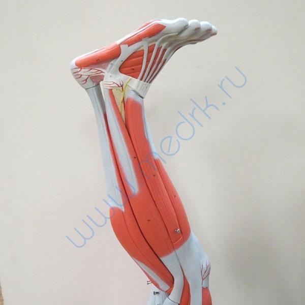 Модель ноги M20  Вид 5