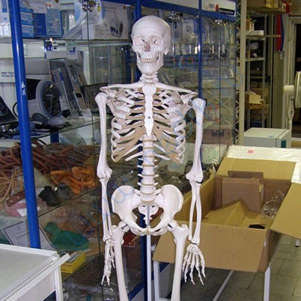 Модель скелета человека A10  Вид 2