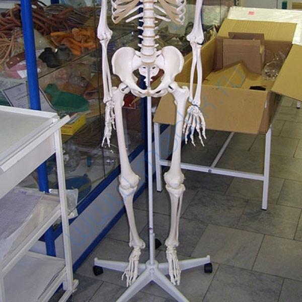 Модель скелета человека A10  Вид 3