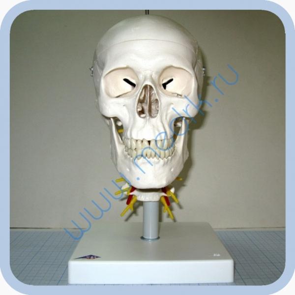 Модель черепа на шейном отделе позвоночника, арт. A20/1