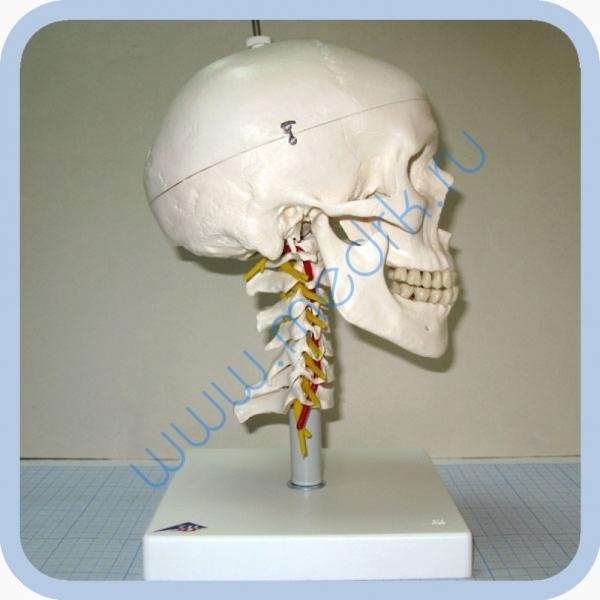 Модель черепа на шейном отделе позвоночника, арт. A20/1  Вид 1