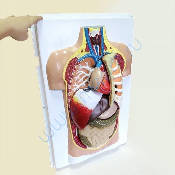 Модель торса человека Н7 (разборная)  Вид 10
