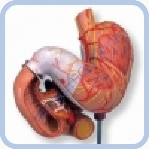 Макет человеческого желудка из 3 частей K16  Вид 2