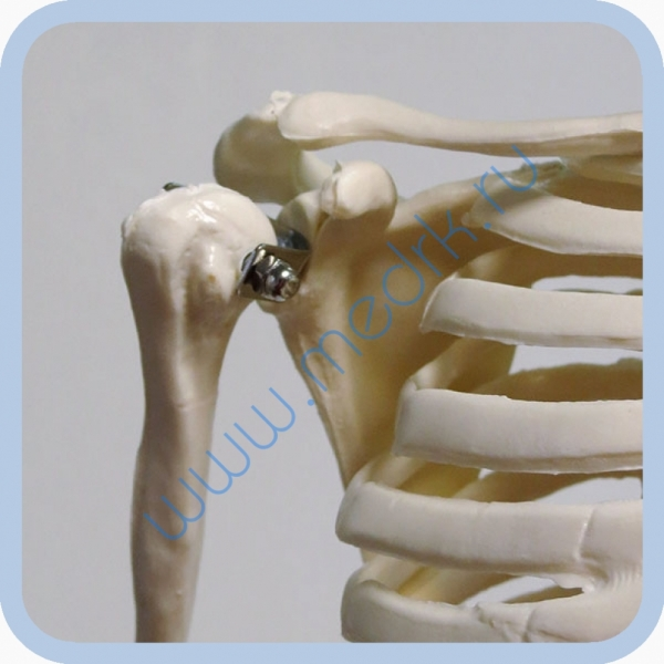 Макет скелета человека 85 см на подставке  Вид 1