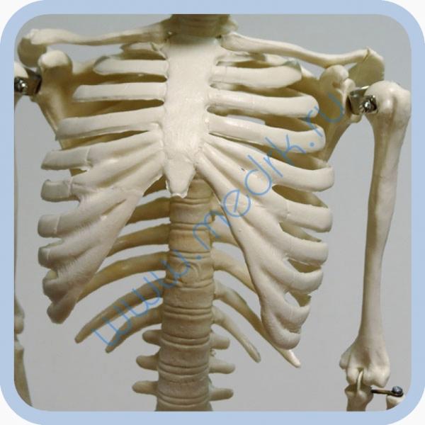 Макет скелета человека 85 см на подставке  Вид 3