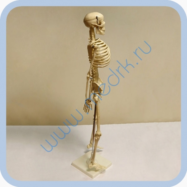 Макет скелета человека 85 см на подставке  Вид 4