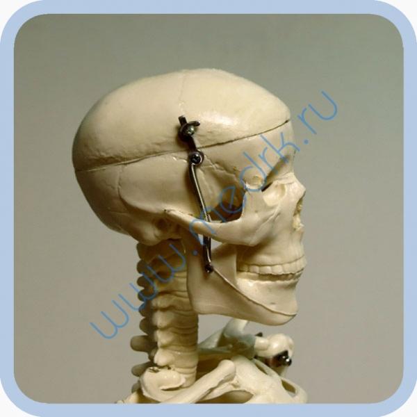 Макет скелета человека 85 см на подставке  Вид 5