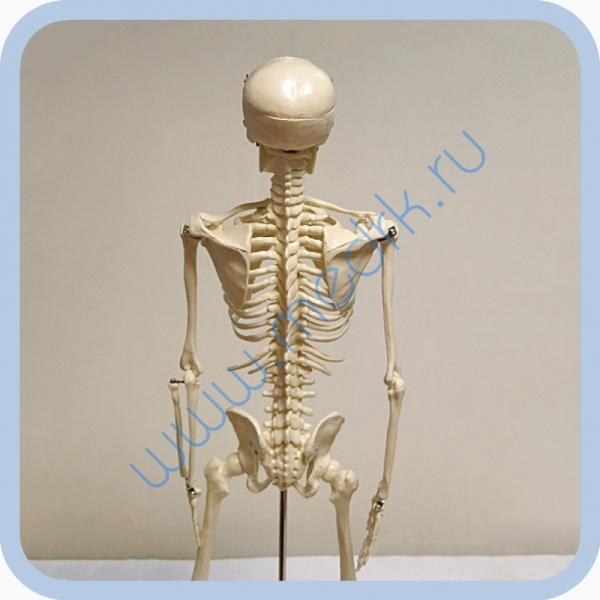 Макет скелета человека 85 см на подставке  Вид 6