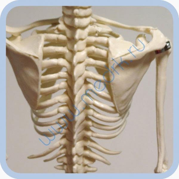 Макет скелета человека 85 см на подставке  Вид 7