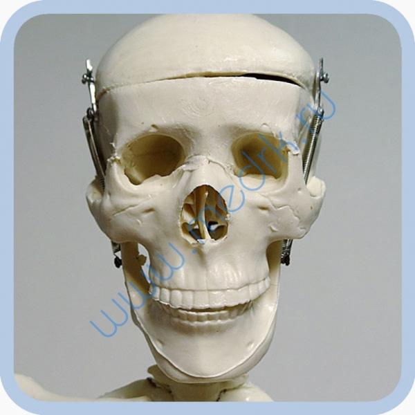 Макет скелета человека 85 см на подставке  Вид 9