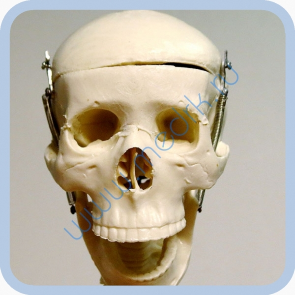 Макет скелета человека 85 см на подставке  Вид 10