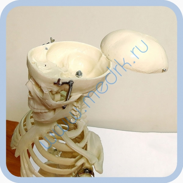 Макет скелета человека 85 см на подставке  Вид 11