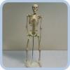 Макет скелета человека 85 см на подставке